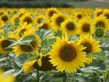 Üreticiler ayçiçeği fiyatlarından memnun