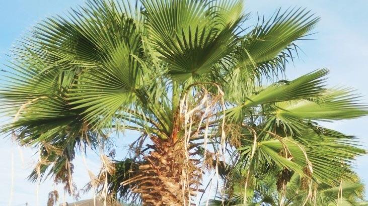 Palmiye Ağacı Özellikleri Nelerdir, Nasıl Yetiştirilir?