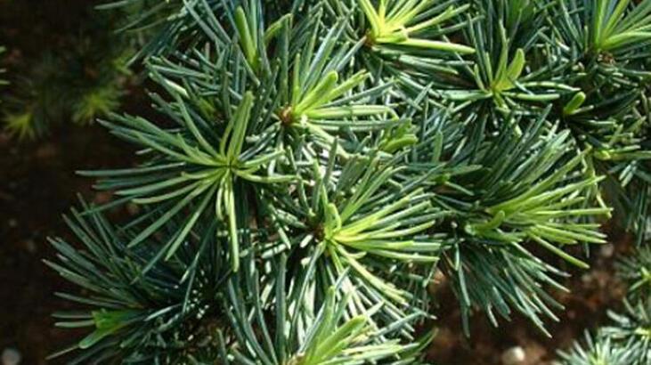 Sedir Ağacı Özellikleri Nelerdir, Nasıl Yetiştirilir?