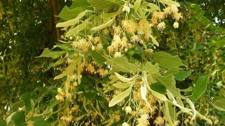Ihlamur Ağacı Özellikleri Nelerdir, Nasıl Yetiştirilir?