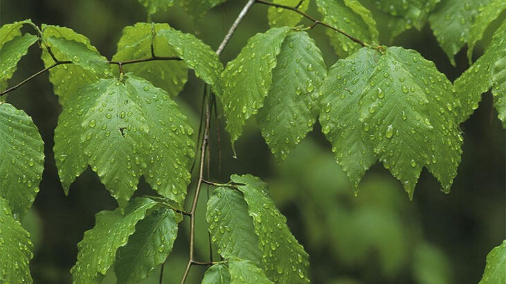 Kayın Ağacı Özellikleri Nelerdir, Nasıl Yetiştirilir?