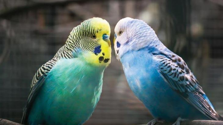 Muhabbet Kuşu Ne Yer, Nasıl Beslenir? Muhabbet Kuşlarının Sevdiği Besinler Nelerdir?