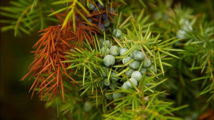 Ardıç Ağacı Özellikleri Nelerdir, Nasıl Yetiştirilir?