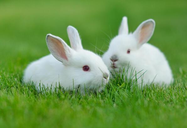 Evcil tavşanla arkadaşlık kurmak için nasıl davranmalı?