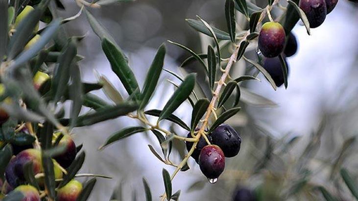 Zeytin Ağacı Özellikleri Nelerdir, Nasıl Yetiştirilir?