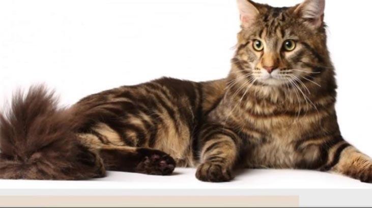 Manks Kedisi Özellikleri Nelerdir? Yavru Kuyruksuz Manx Kedisinin Bakımı Nasıl Yapılır?