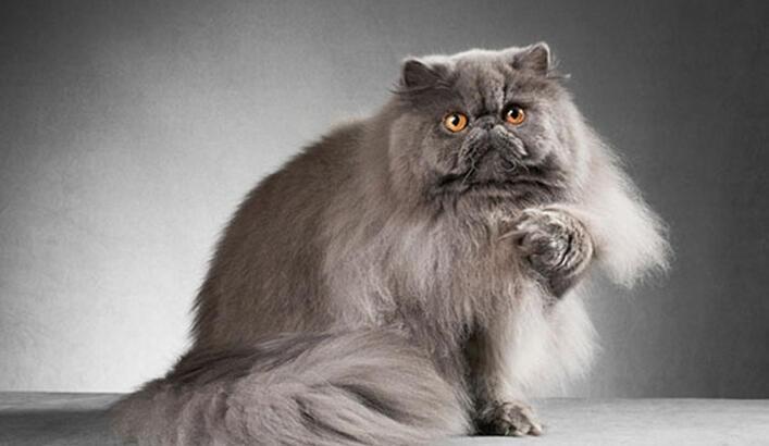 İran Kedisi Özellikleri Nelerdir? Yavru Fars (Persian) Kedisinin Bakımı Nasıl Yapılır?