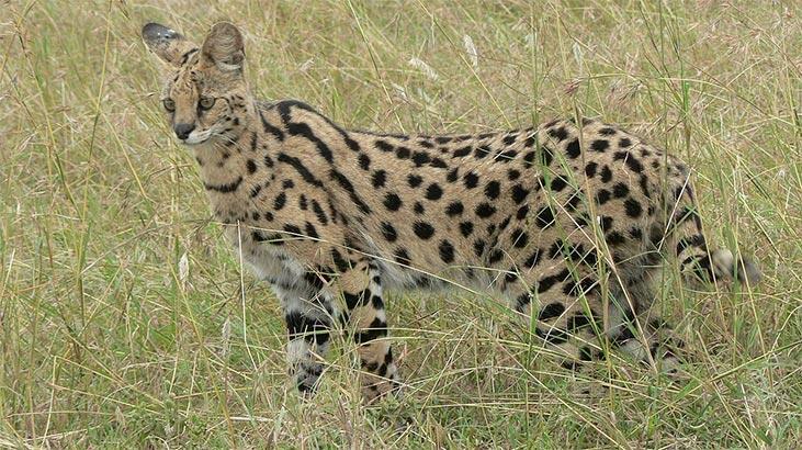 Savannah Kedisi Özellikleri Nelerdir? Yavru Savannah Kedisinin Bakımı Nasıl Yapılır?