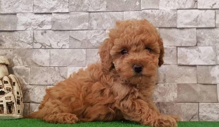 Toy Poodle Köpek Özellikleri Nelerdir? Yavru Toy Poodle Cinsi Hakkında Bilgiler
