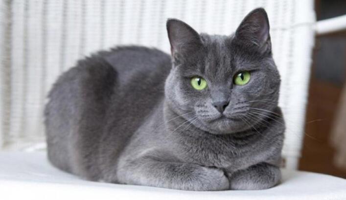 Mavi Rus Kedisi Özellikleri Nelerdir? Yavru Russian Blue Kedisinin Bakımı Nasıl Yapılır?
