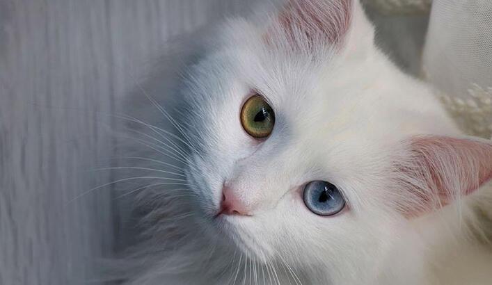 Van Kedisi Özellikleri Nelerdir? Yavru Van Kedisinin Bakımı Nasıl Yapılır?