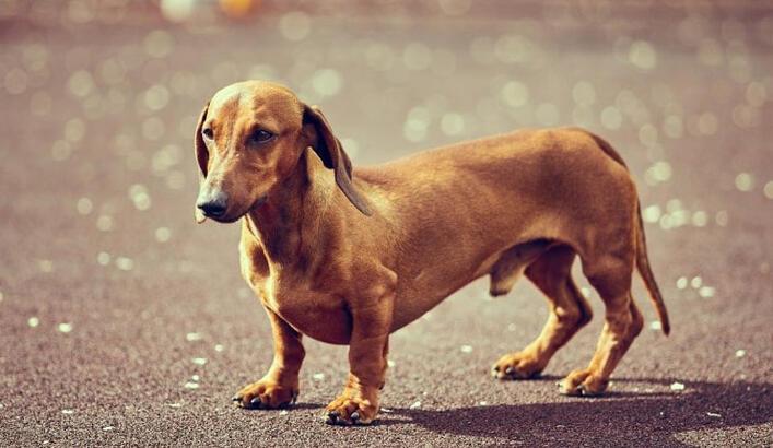 Dakhund Köpek Özellikleri Nelerdir? Yavru Dachshund (Daksund) Cinsi Hakkında Bilgiler