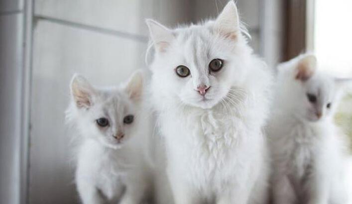 Ankara Kedisi Özellikleri Nelerdir? Yavru Beyaz Ankara Kedisinin Bakımı Nasıl Yapılır?
