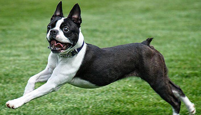 Boston Terrier Köpek Özellikleri Nelerdir? Yavru Boston Terrier Cinsi Hakkında Bilgiler