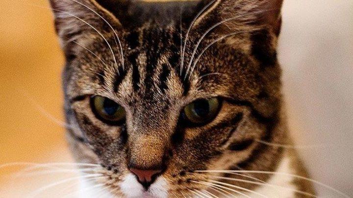 Amerikan Kedisi Özellikleri Nelerdir? Yavru American Shorthair Kedisinin Bakımı Nasıl Yapılır?