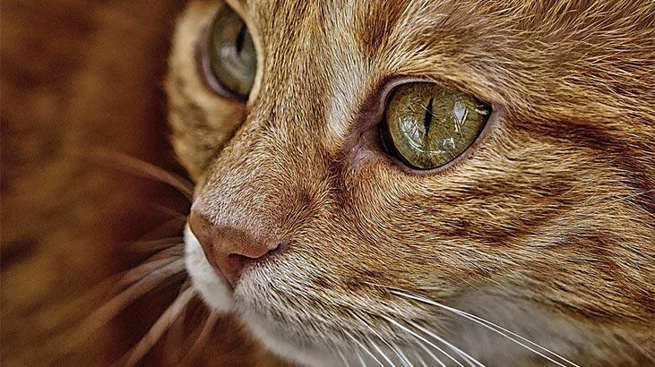 Somali Kedisi Özellikleri Nelerdir? Yavru Somali Kedisinin Bakımı Nasıl Yapılır?