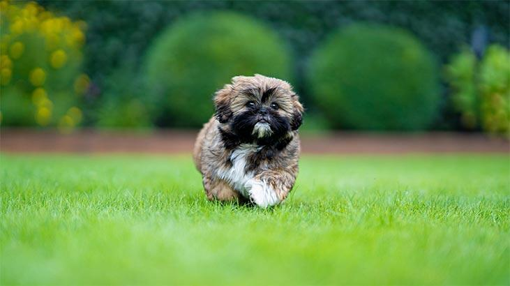 Shih Tzu Köpek Özellikleri Nelerdir? Yavru Şitsu Cinsi Hakkında Bilgiler