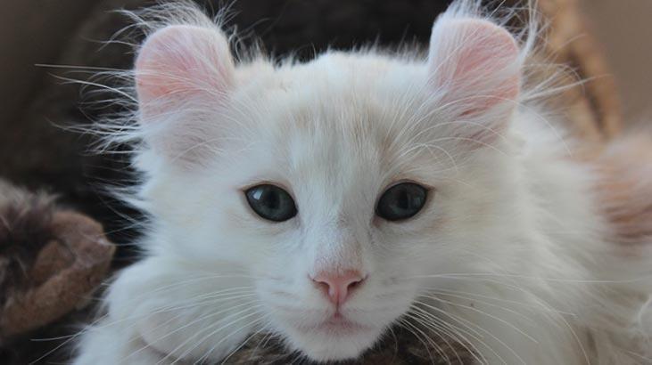 American Curl Özellikleri Nelerdir? Yavru American Curl (Kıvrık Kulak) Kedisinin Bakımı Nasıl Yapılır?