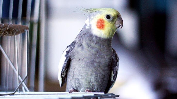 Papağan Türleri Ve İsimleri Nelerdir? Papağanların Çeşitleri İle Özellikleri
