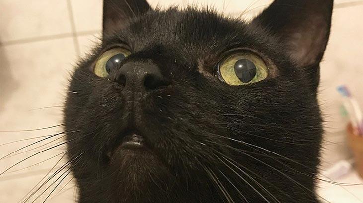 Bombay Kedisi Özellikleri Nelerdir? Yavru Siyah Birman Panter Kedisinin Bakımı Nasıl Yapılır?